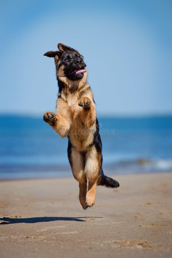 German shepherd puppy on the beach. Adorable german shepherd puppy on a beach stock photography