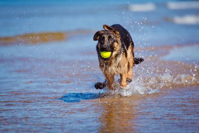 Download German Shepherd Puppy On The Beach Stock Image - Image of breed, beauty: 39671547