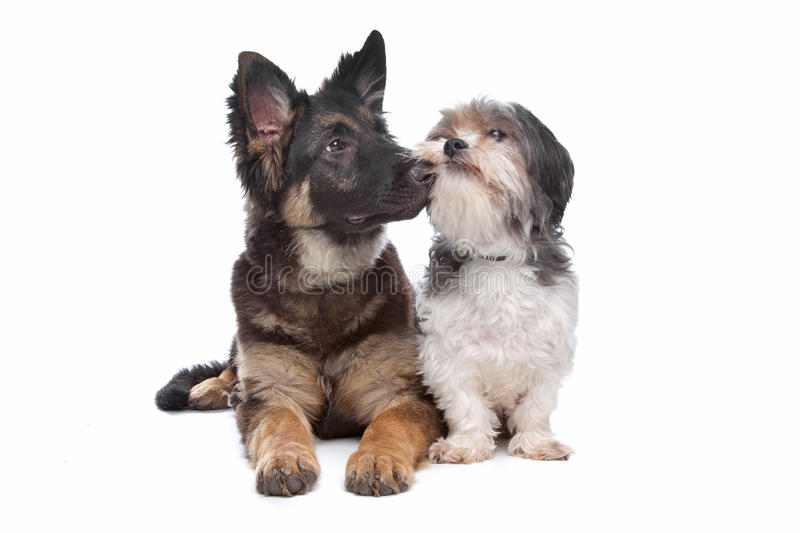 German Shepherd puppy and a boomer mixed breed dog. In front of a white background stock photos