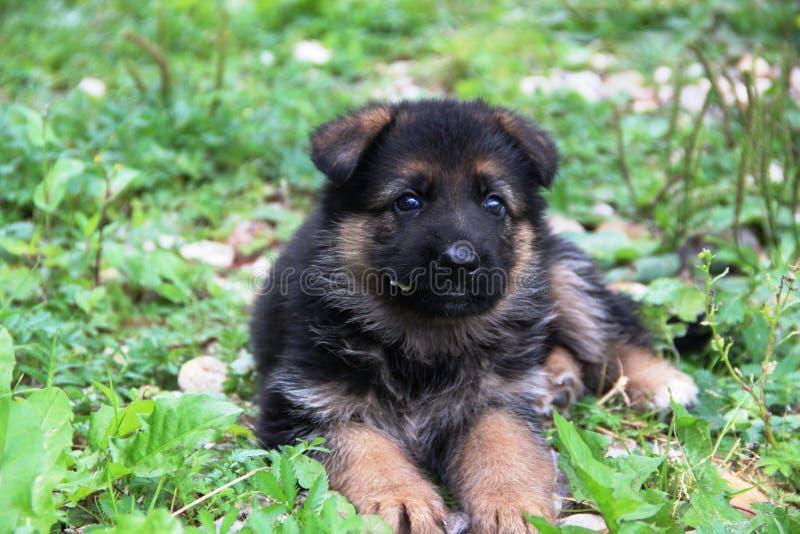 German shepherd puppy. The German Shepherd (German: Deutscher Schäferhun is a breed of large-sized working dog that originated in Germany. The breed's stock images