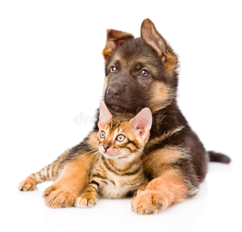 German shepherd puppy dog embracing little bengal cat. isolated. On white stock photography