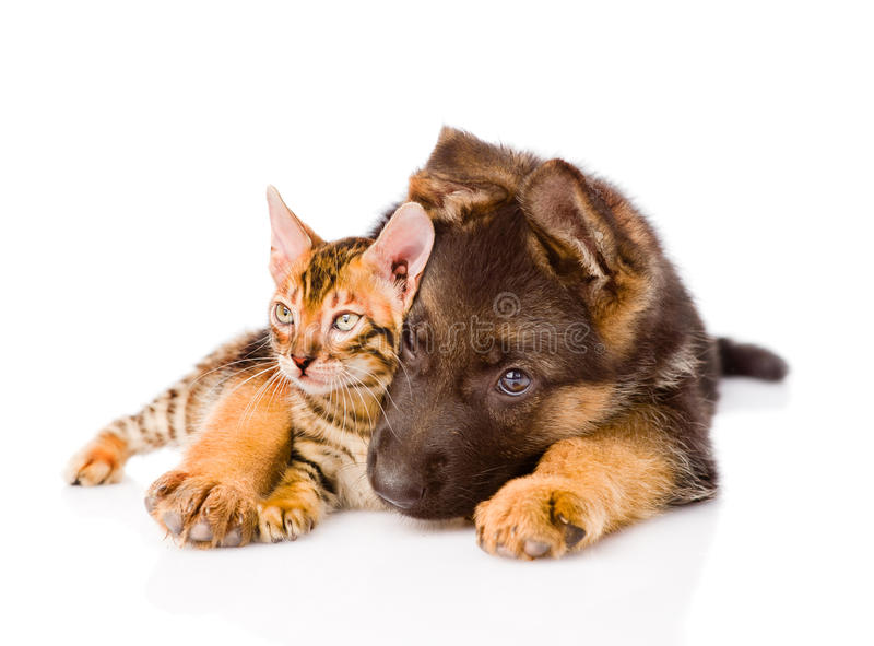 German shepherd puppy dog embracing little bengal cat. On white royalty free stock images