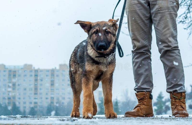 German shepherd puppy with owner royalty free stock image