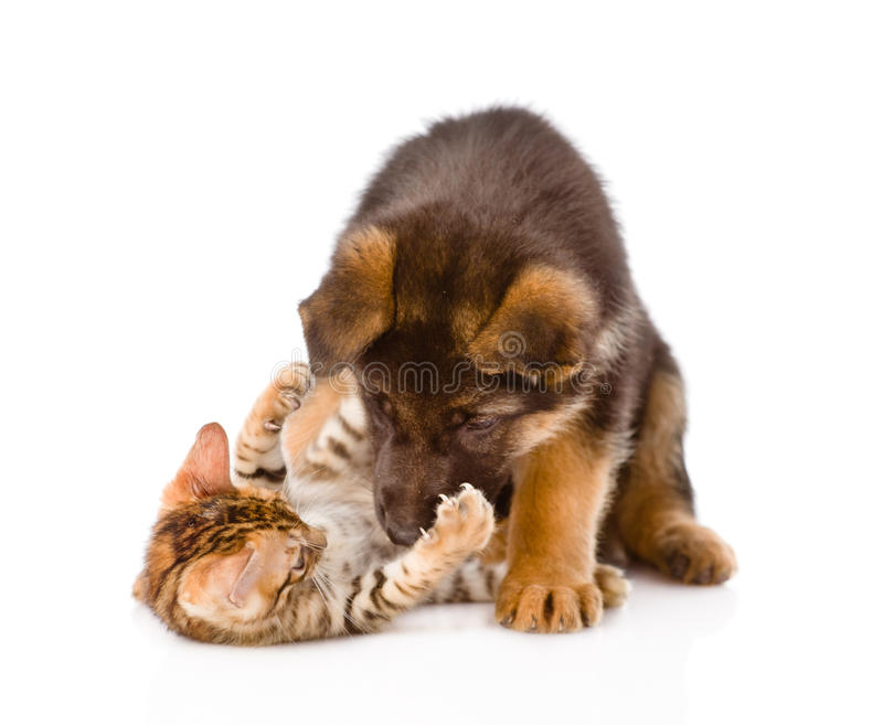 German shepherd puppy dog playing with little bengal cat. isolated. On white stock photography