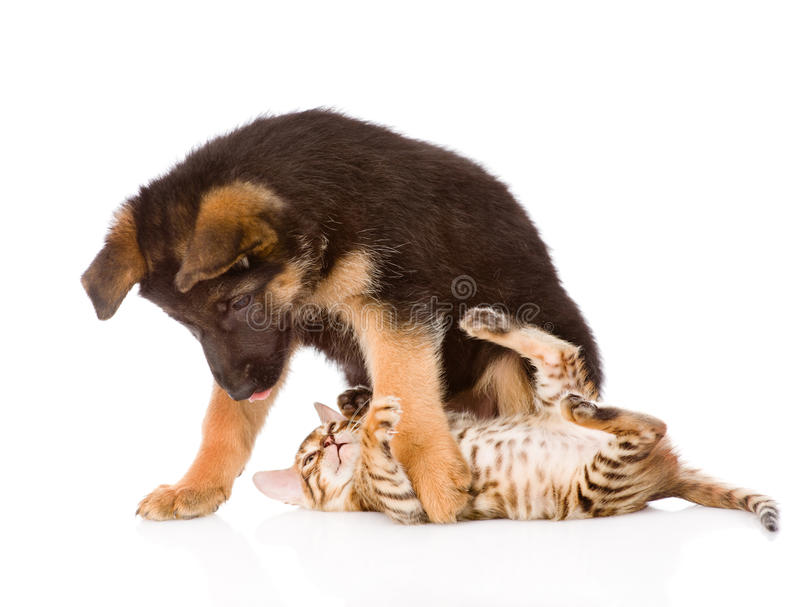 German shepherd puppy dog playing with little bengal cat. On white royalty free stock photo