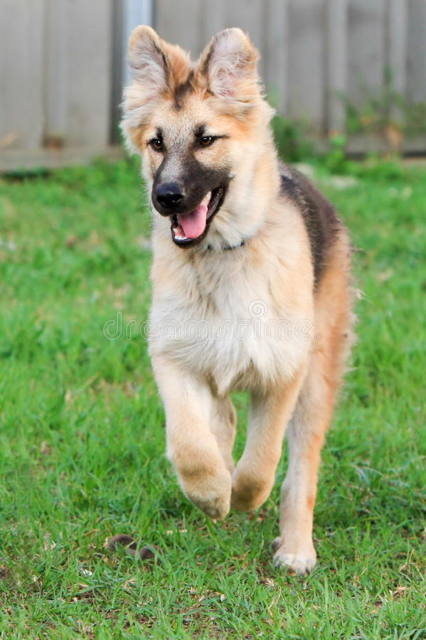 German Shepherd puppy having fun. stock photos