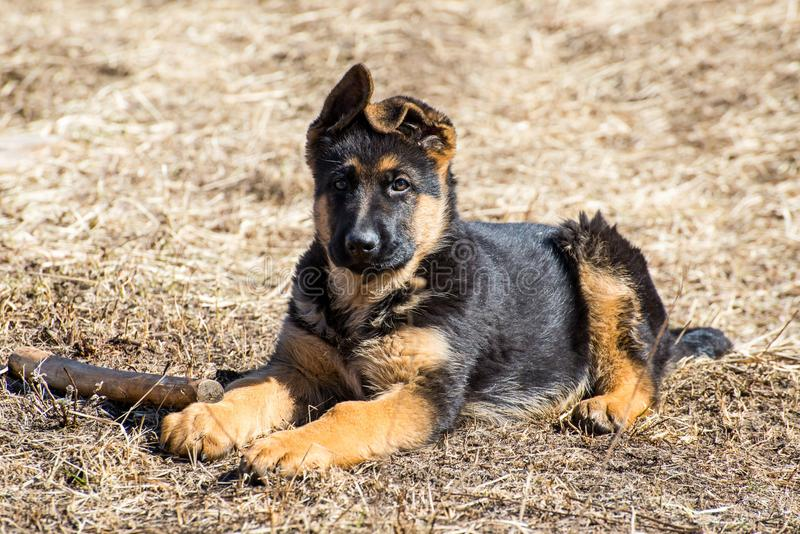German Shepherd Puppy. Lies - adorable  with floppy ears stock photography