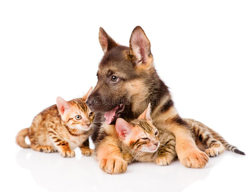 German shepherd puppy lying with bengal kittens. isolated on white stock images