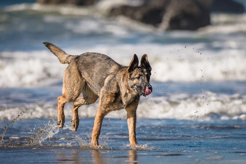 German shepherd puppy playing on beach royalty free stock images