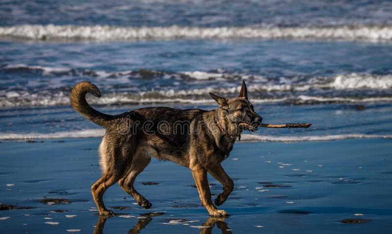 German shepherd puppy playing with stick on beach stock images
