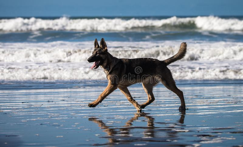 German shepherd puppy running and playing on beach stock image