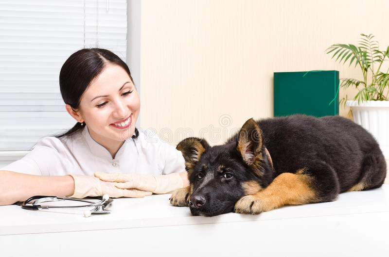 German Shepherd puppy and vet. German Shepherd puppy on the inspection at the vet royalty free stock photos
