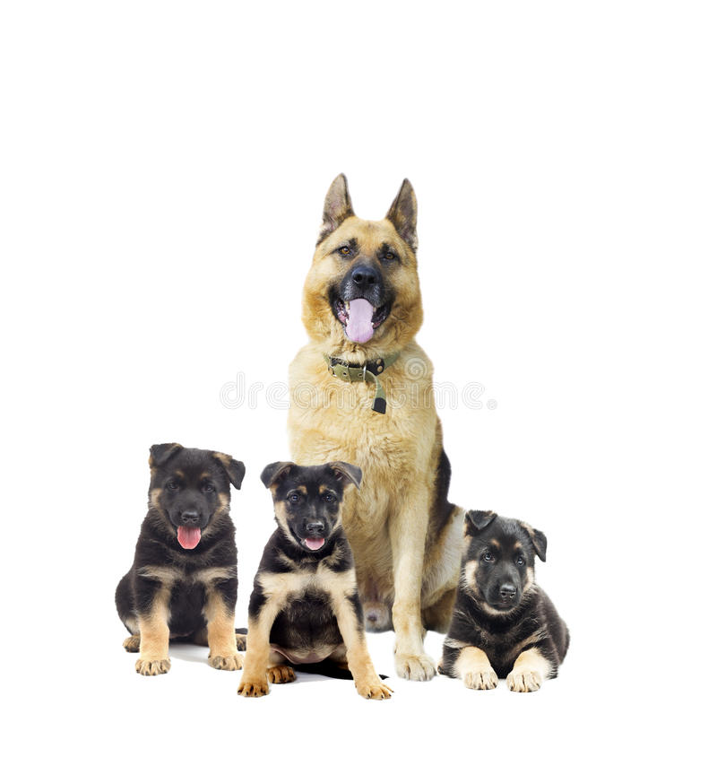 German Shepherd and puppy. On a white background isolated stock photo