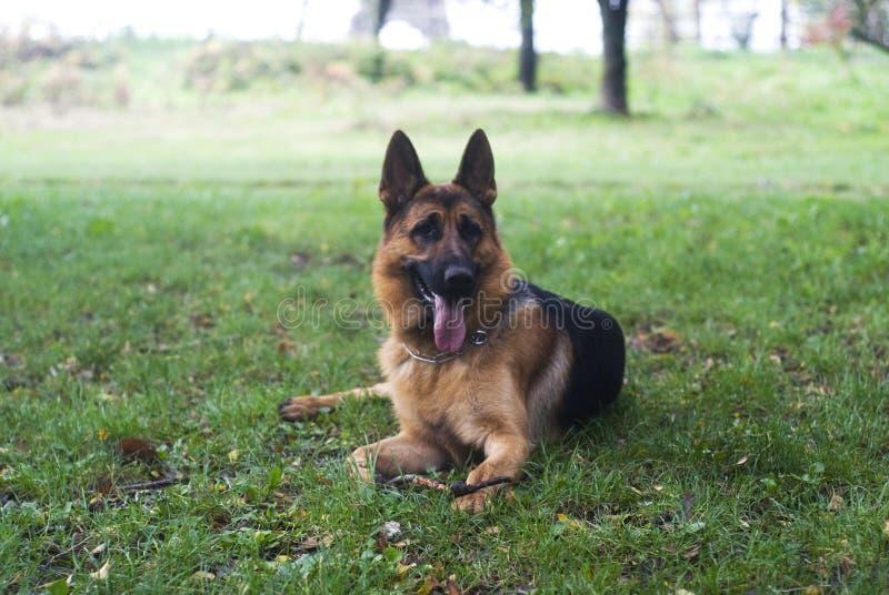 German Shepherd. A german shepherd relaxing on a lawn royalty free stock photo