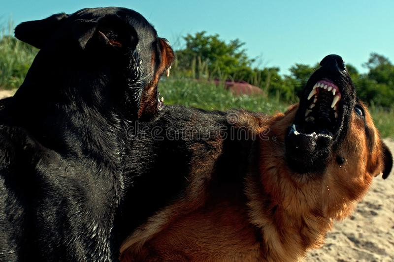German Shepherd and a Rottweiler playing hard at the beach stock image