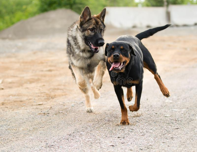 German Shepherd and Rottweiler Running and Playing royalty free stock photography