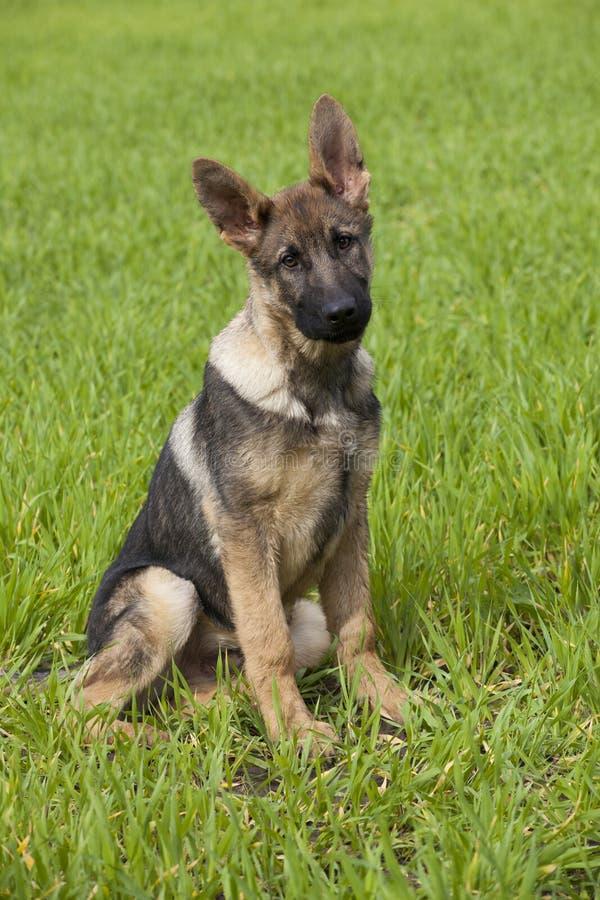 Download German shepherd`s puppy stock image. Image of brown, sheepdog - 31921669