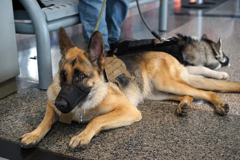 German Shepherd service dog and friend stock photo