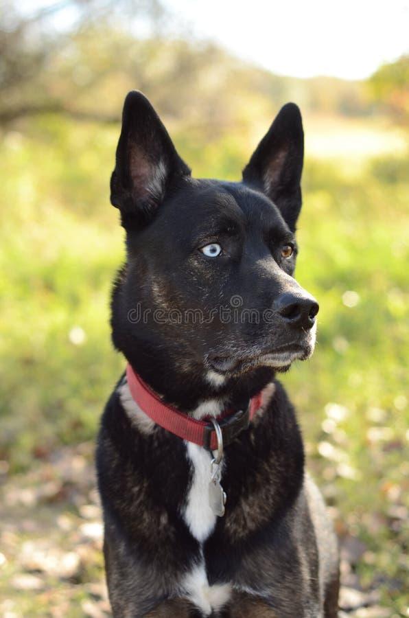 German Shepherd Siberian Husky mix breed dog outdoor portrait stock image