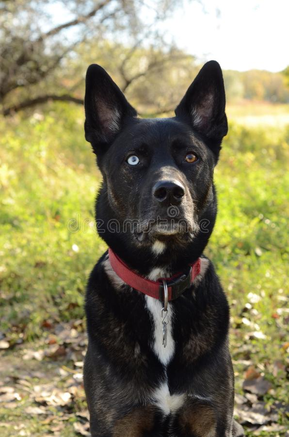German Shepherd Siberian Husky mix breed dog outdoor portrait. A German Shepherd Siberian Husky mix breed dog sitting in a forest posing for an outdoor portrait royalty free stock photo