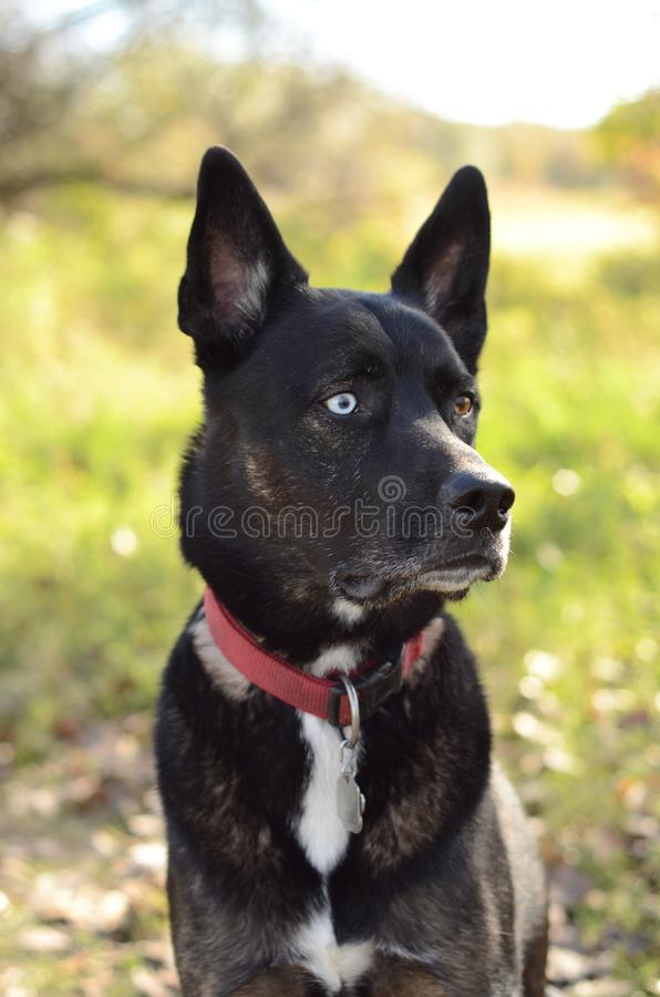 German Shepherd Siberian Husky mix breed dog outdoor portrait. A German Shepherd Siberian Husky mix breed dog sitting in a forest posing for an outdoor portrait stock photo