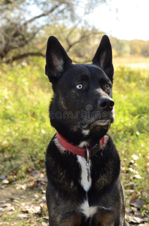 German Shepherd Siberian Husky mix breed dog outdoor portrait. A German Shepherd Siberian Husky mix breed dog sitting in a forest posing for an outdoor portrait stock photos