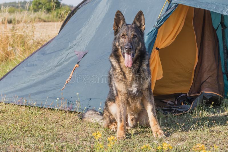 German Shepherd sitting in front of the tent. German Shepherd with tongue out is sitting in front of the tent outdoors looking at the camera. All potential royalty free stock image