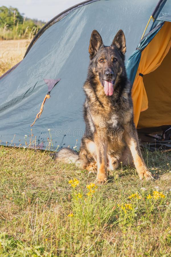 German Shepherd sitting in front of the tent. Vertically. German Shepherd is sitting in front of the tent looking at the camera. All potential trademarks are royalty free stock photography