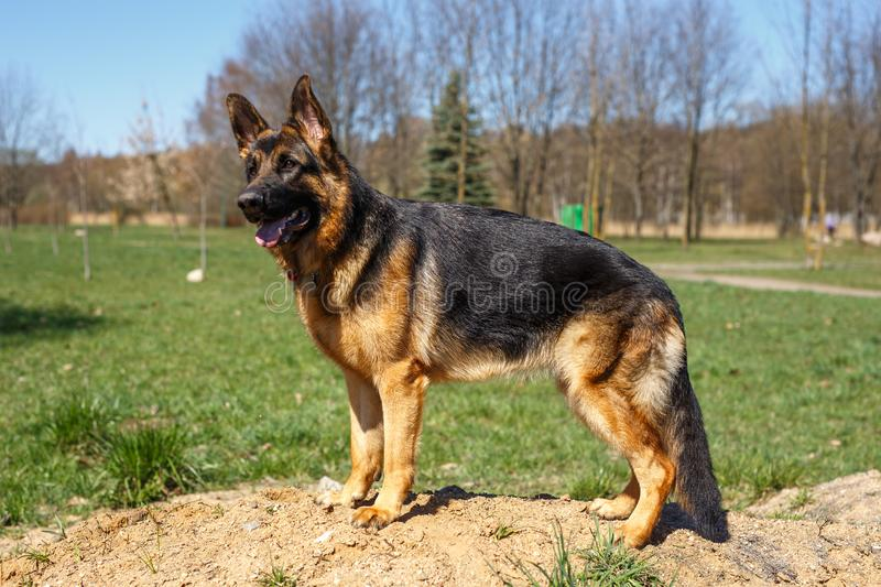 German shepherd stands and listen to the command stock image