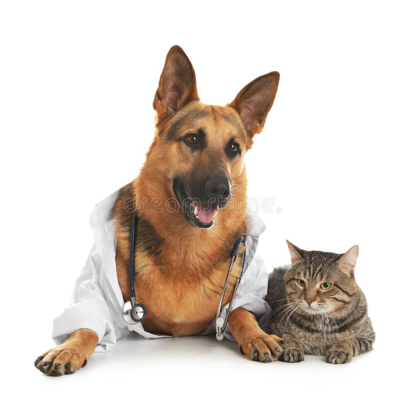 German shepherd with stethoscope dressed as veterinarian doc and cat. On white background stock image