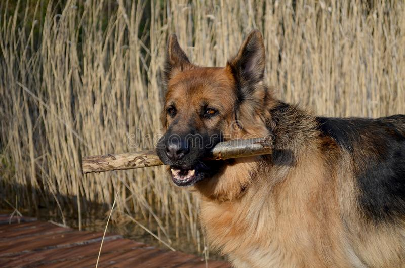 German shepherd  with stick stock image