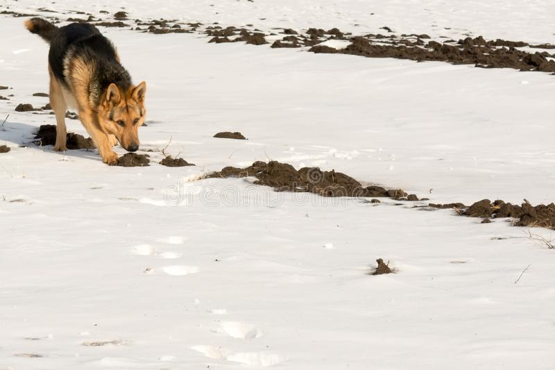 The German Shepherd took the trail. Smell, sniffing footprints of the hare on the hunt royalty free stock photography
