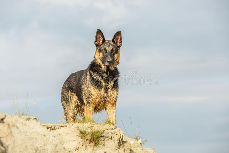 Download German Shepherd stock photo. Image of stand, strong, sandy - 83702408