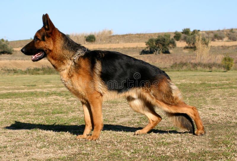 German shepherd upright. Attentive purebred german shepherd: beautiful watching dog upright stock image