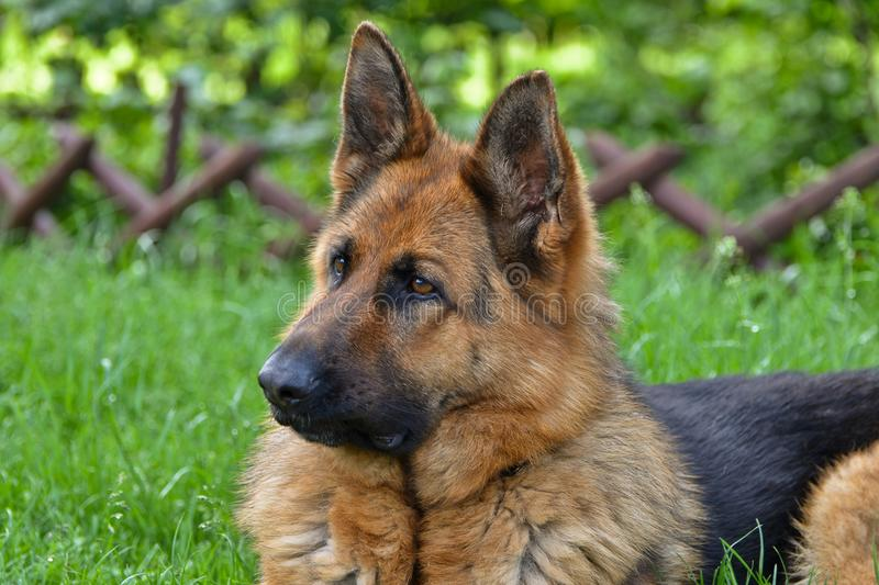 German shepherd view. This is a view of bitch of german shepherd named Sara royalty free stock images