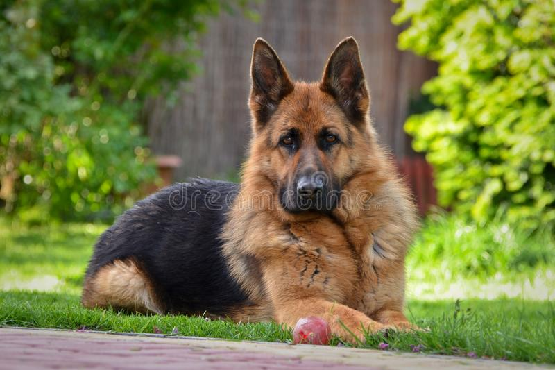 German shepherd view. This is a view of bitch of german shepherd named Sara royalty free stock photography