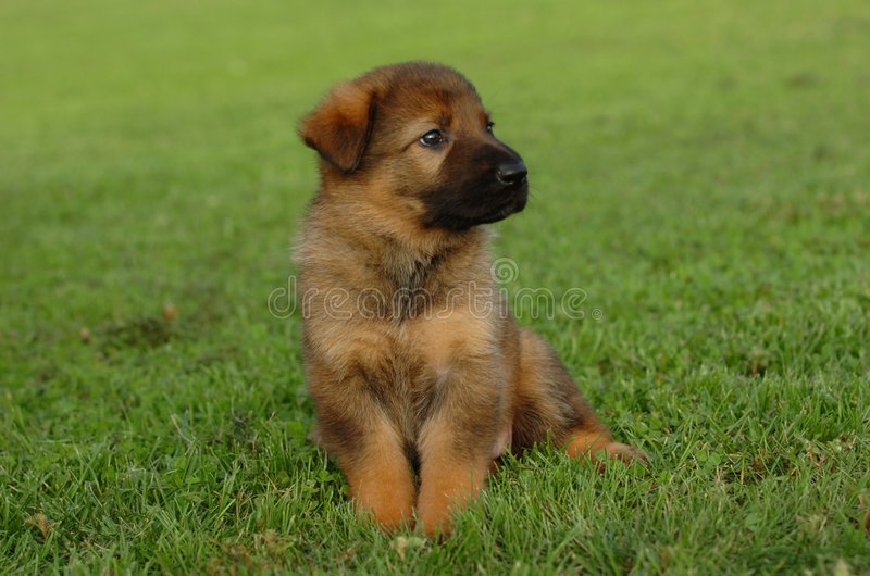 German shepherd waiting. Cute german shepherd puppy is waiting for his litter mates and sitting in the green grass royalty free stock images
