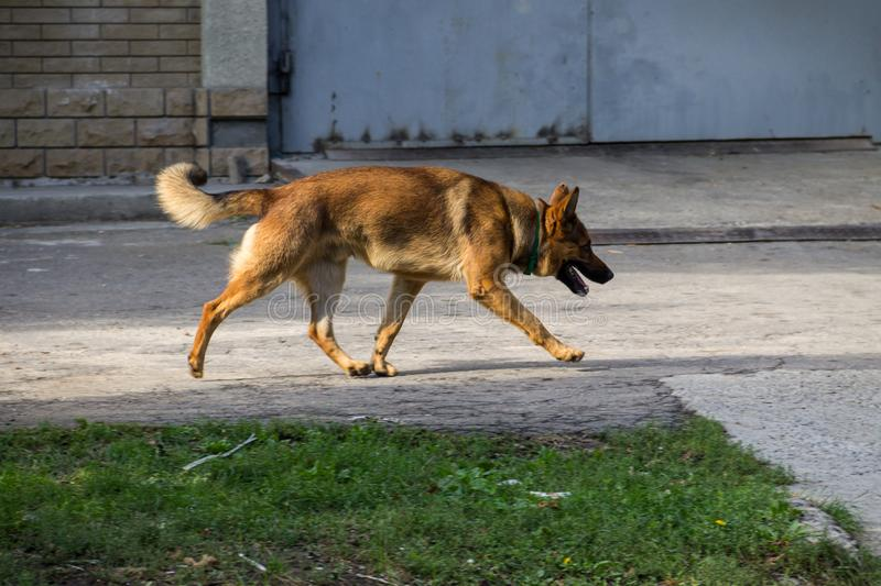 German shepherd walking in city park. German shepherd walking in a city park stock image