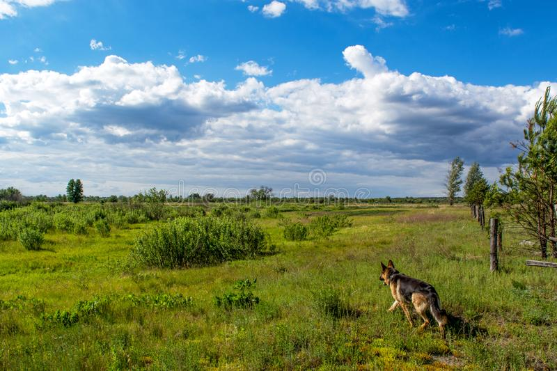 German shepherd walking at the meadow during sunny day. In Ukraine stock images