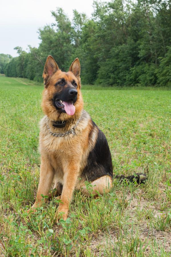 German shepherd walking resting in the Park on the grass on a summer day stock photography