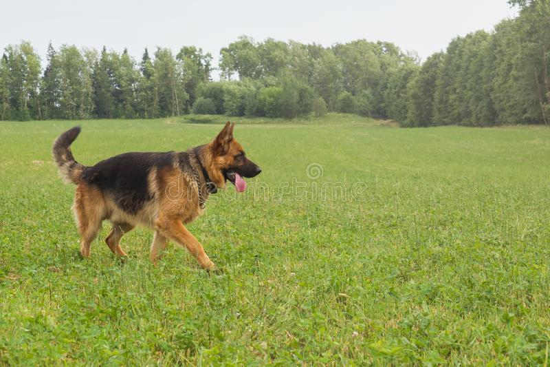 German shepherd walking resting in the Park on the grass on a summer day.  stock photo