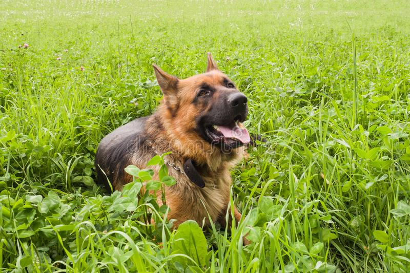 German shepherd walking resting in the Park on the grass on a summer day stock photos