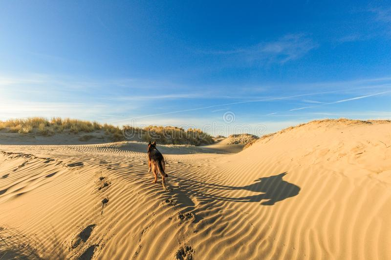 German shepherd walking on young sand dunes formed by flooding at high tides royalty free stock photography