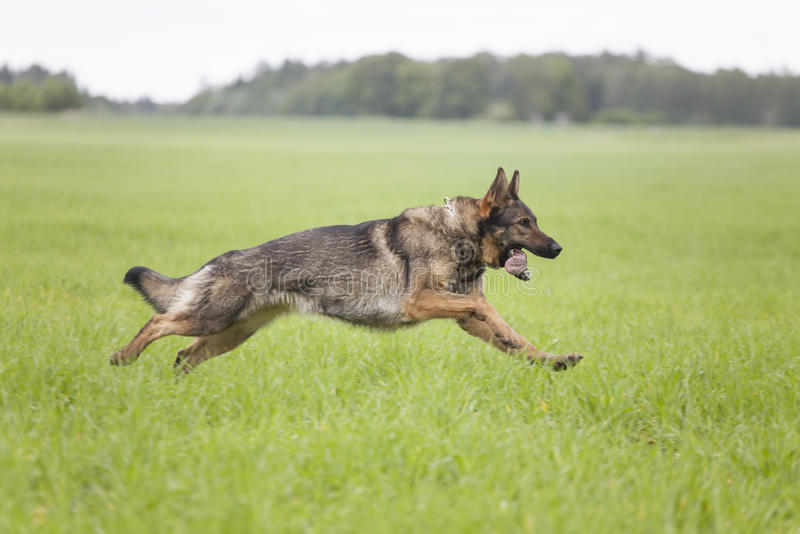 German Shepherd Stock Images