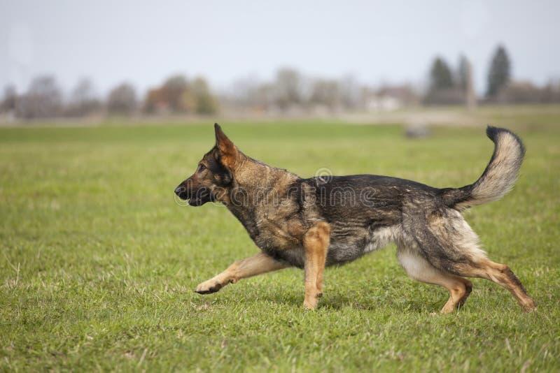 Download German shepherd stock image. Image of pedigreed, breed - 31933951