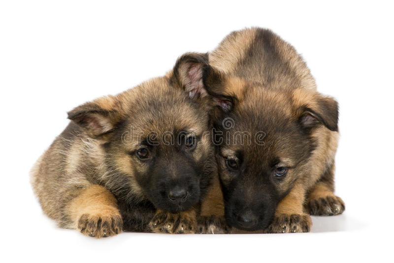 German shepherds puppy`s stock images