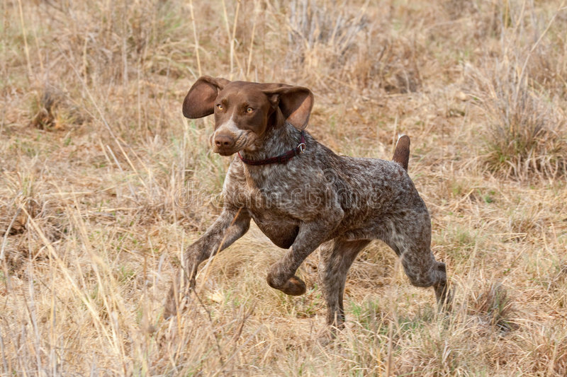 Download German Short Hair Pointer Dog Following Scent Stock Photo - Image: 7863640