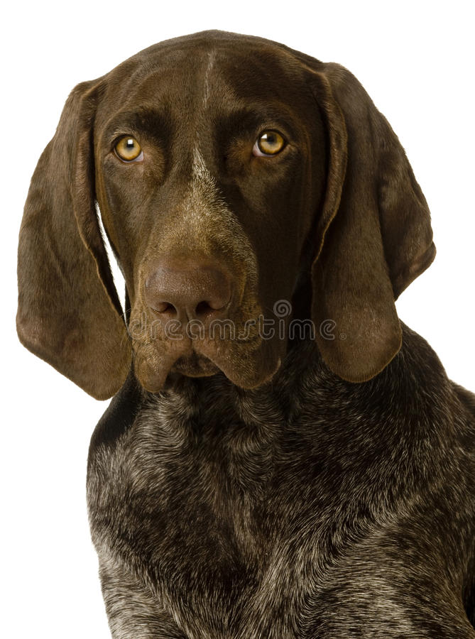 Download German Short Haired Pointer Dog Stock Photo - Image: 12915150