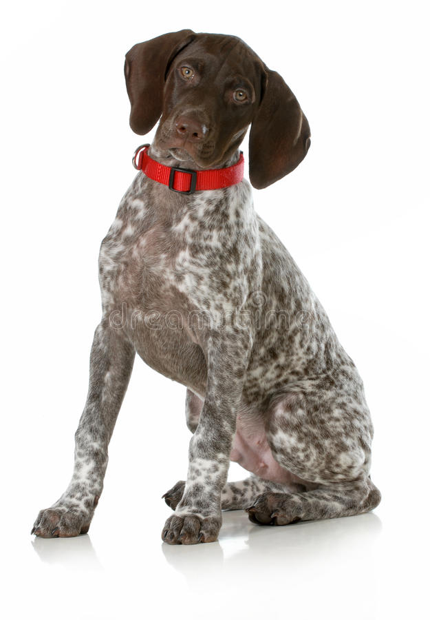 Download German Short Haired Pointer Puppy Stock Photo - Image of grey, haired: 28523982