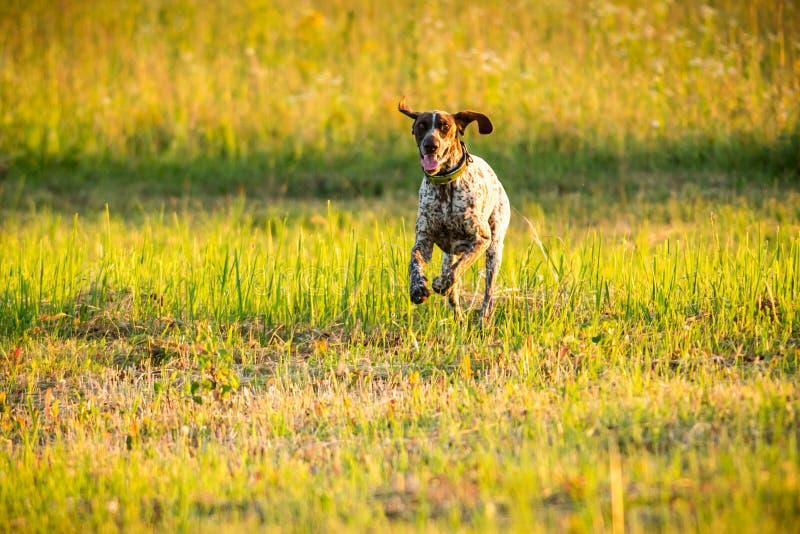 German short-haired pointer running through field stock photo